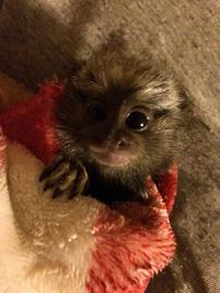New Baby Boy Marmoset Available Contact Beckee Turner 727